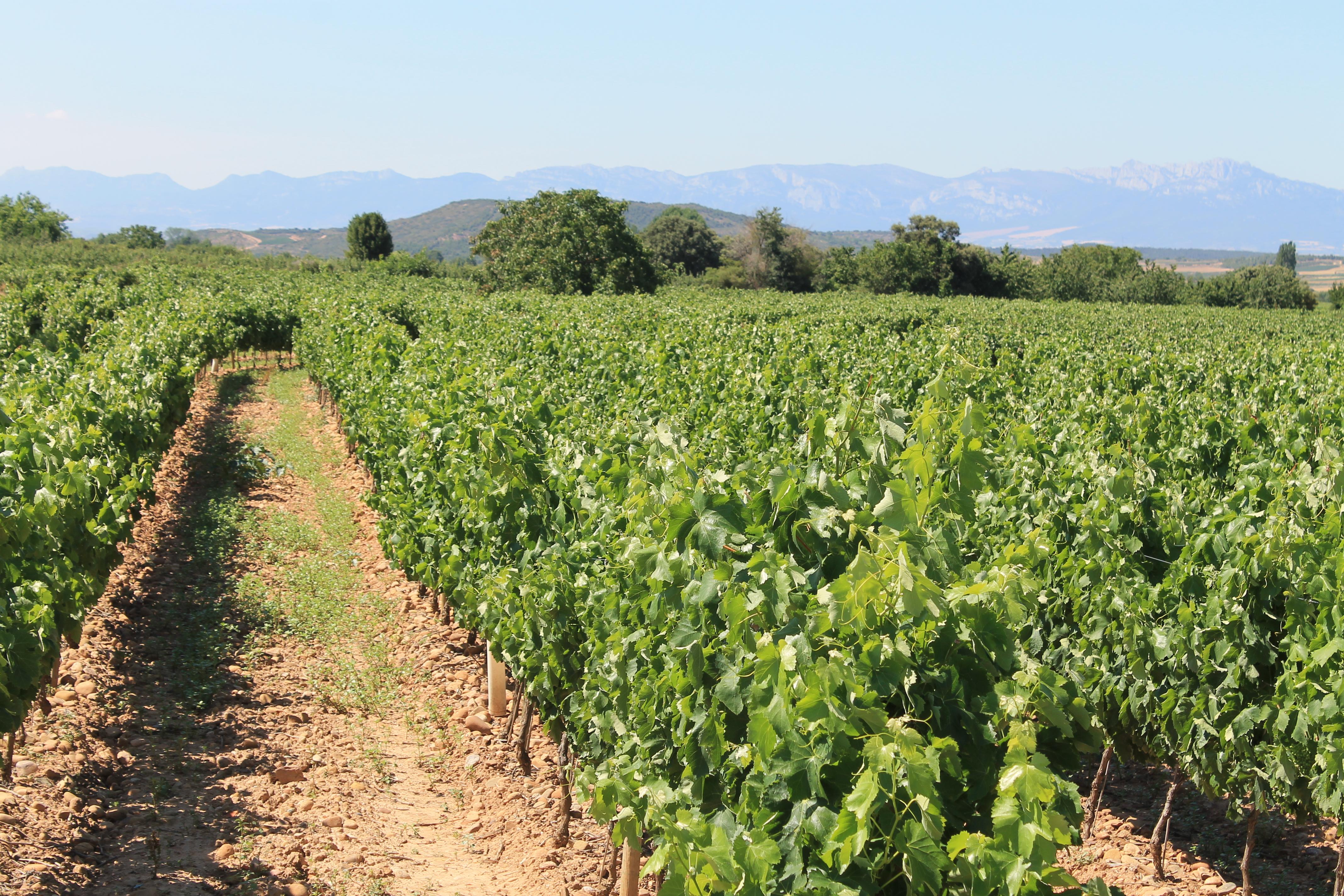 Viticultura original